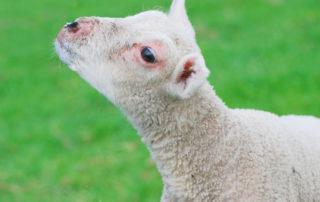 L'agneau du Séder